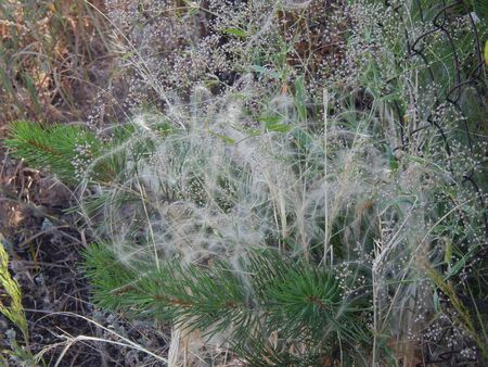 cockscomb: Feather grass with a small Christmas tree