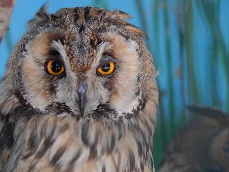 observant: Short-eared Owl