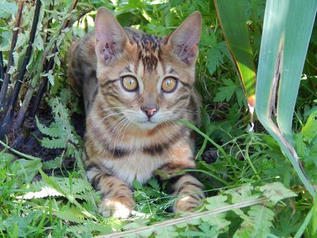 http://us.123rf.com/450wm/avatap/avatap1507/avatap150700429/43464975-Бенгальские-кошки-смотрит.jpg