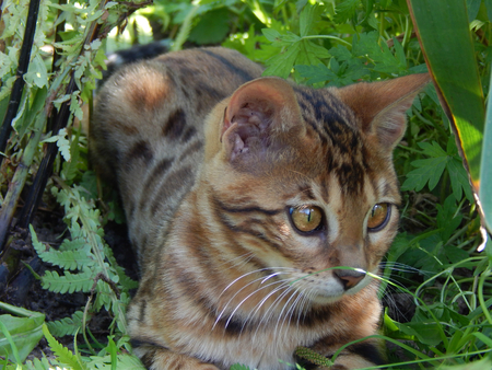http://us.123rf.com/450wm/avatap/avatap1507/avatap150700430/43464981-Бенгальский-котенок-в-траве.jpg