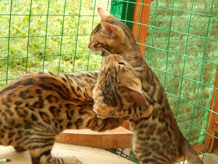 http://us.123rf.com/450wm/avatap/avatap1508/avatap150800019/43465044-Бенгальские-котята-играют.jpg