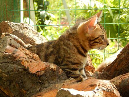 http://us.123rf.com/450wm/avatap/avatap1508/avatap150800020/43465045-Бенгальский-котенок-на-дереве.jpg