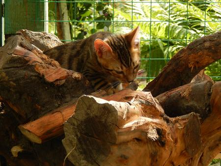 http://us.123rf.com/450wm/avatap/avatap1508/avatap150800021/43465042-Бенгальский-котенок-на-дереве.jpg