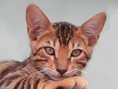http://us.123rf.com/450wm/avatap/avatap1508/avatap150800022/43465047-Бенгальский-котенок.jpg