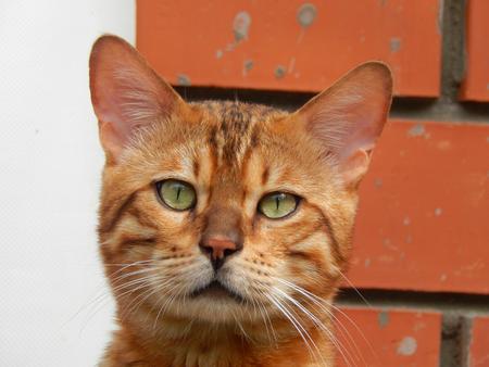 http://us.123rf.com/450wm/avatap/avatap1508/avatap150800037/43465106-Бенгальская-кошка-с-внимательным-глазом.jpg