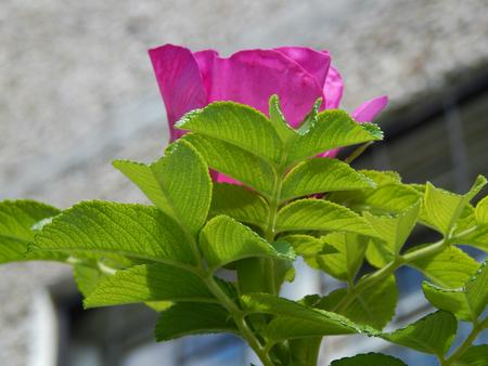 http://us.123rf.com/450wm/avatap/avatap1508/avatap150800113/43465314-pink-flower-wild-rose.jpg