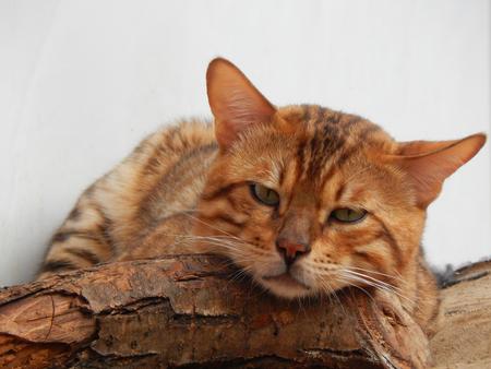 http://us.123rf.com/450wm/avatap/avatap1508/avatap150800339/44305879-Бенгальская-кошка.jpg