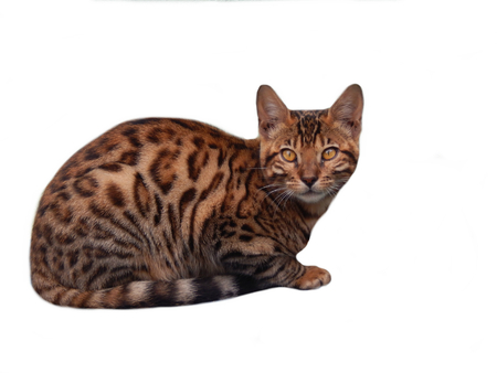 furred: Bengal cat on a white background