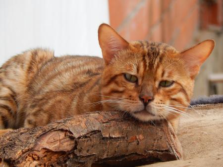 furred: bengal cat