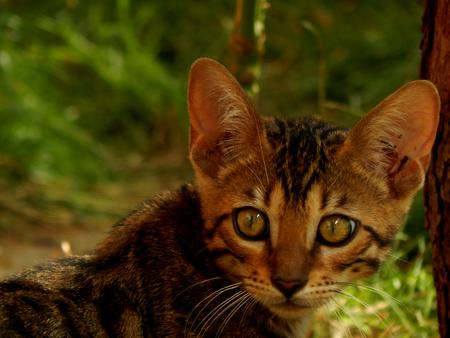 furred: Scared Bengal kitten
