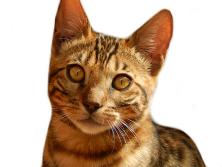 furred: Bengal cat on white background Stock Photo