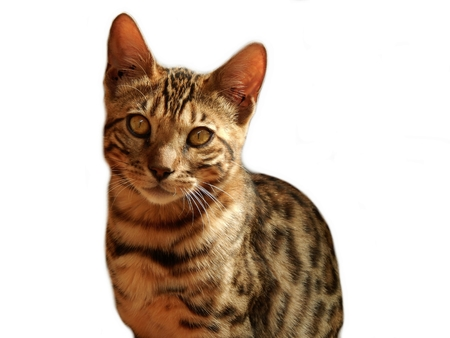 bengal: Bengal cat on white background Stock Photo