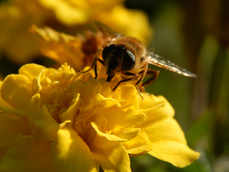 the drumstick tree: bee on a flower