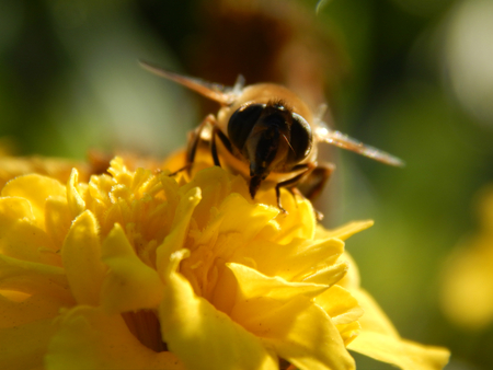 drumstick tree: bee on a flower