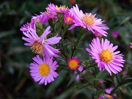 aster: aster