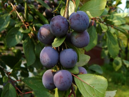 Purple plum Stok Fotoğraf