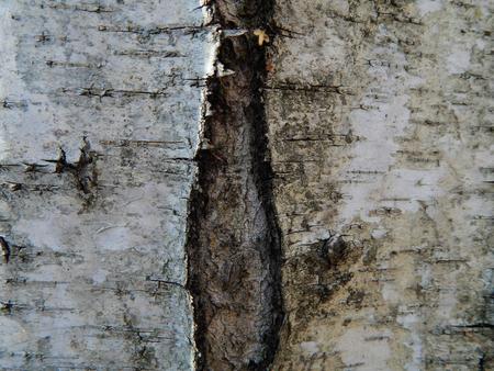 bark: birch bark