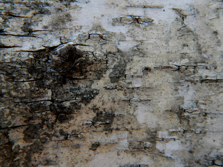 bark: Texture of birch bark Stock Photo