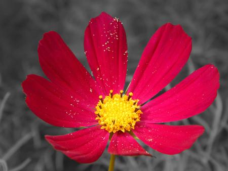 aster: aster flower