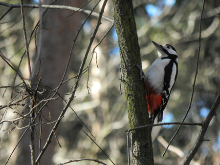spotted: great spotted woodpecker Stock Photo
