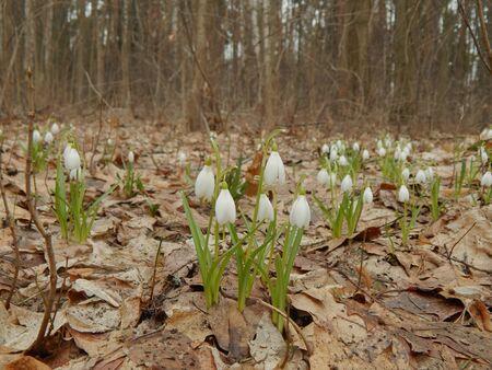 snowdrops: Wild spring flowers snowdrops Stock Photo
