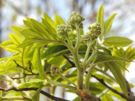 eberesche: gr�ne kleine Blumen Eberesche Lizenzfreie Bilder