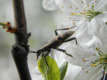 barbel: Beetle barbel on the flowers of the tree close-up
