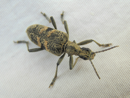 barbel: Forest beetle barbel on a white material Stock Photo