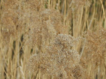 bog: Dry sedge on a bog close up