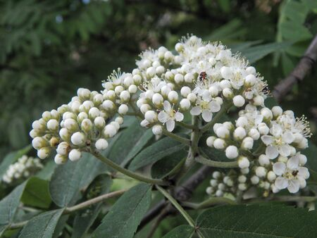 aucuparia: Flowers mountain ash close-up