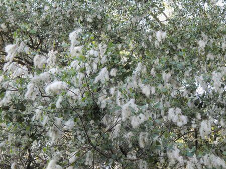 bush to grow up: Flowering tree poplar close up