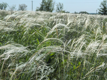 overflow: Flowering feather-grass in a meadow with sunlight overflow