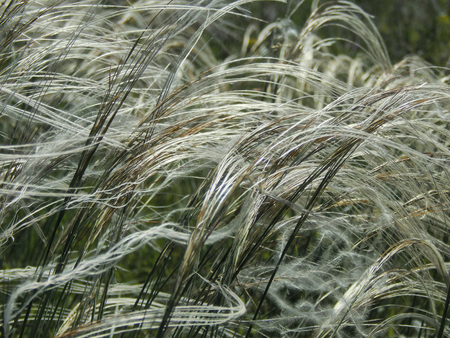 Flowering feather-grass in a meadow with sunlight overflow