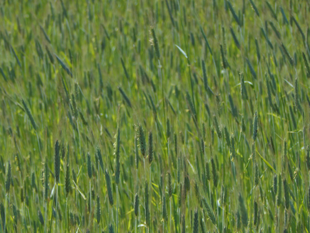 maturing: Maturing wheat ears on the field Stock Photo