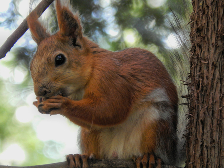 The squirrel gnaws a nut on a branch close-up