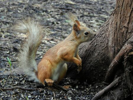 elusive: Squirrel is looking closely at the ground close-up