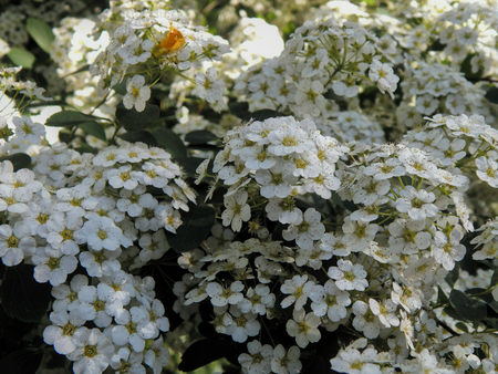 White flowers on a flowering bush stock photo picture and royalty stock photo white flowers on a flowering bush mightylinksfo