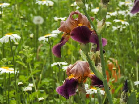 purple irises: Purple irises garden closeup Stock Photo