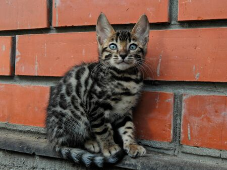 bengali: Small bengal kitten with bright color of the socket on gold closeup