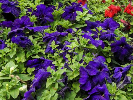 velvety: Garden flower with velvety leaves closeup Stock Photo