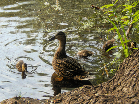 palmate: Duck mother with her ducklings between water lilies