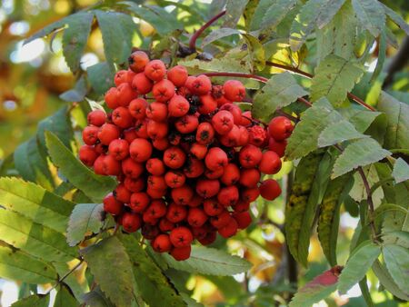 eberesche: Red rowan autumn closeup