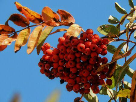 eberesche: Red Eberesche Herbst Nahaufnahme