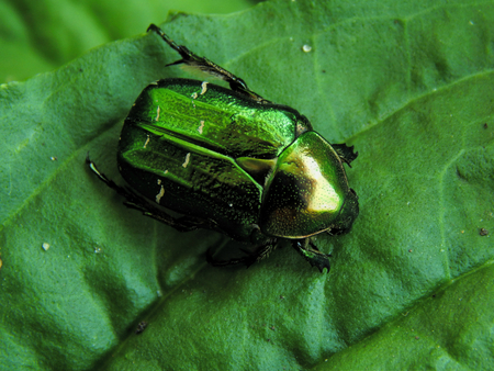 chitin: Big green beetle on plantain. Insect is listed in the Red Book
