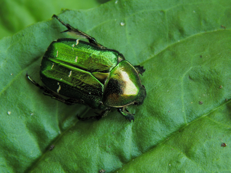 hexapod: Big green beetle on plantain. Insect is listed in the Red Book