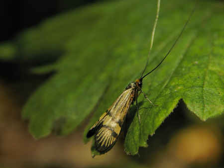 feelers: Wood butterfly with long feelers sitting on a green leaf