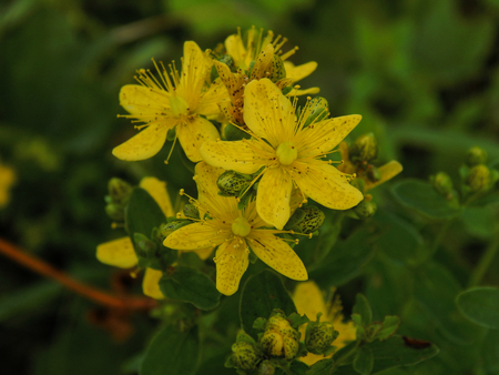 wort: Meadow Herb St. Johns wort. Well-known herbs are used in medicine