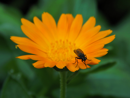 hexapod: Insect on yellow flower aster Stock Photo