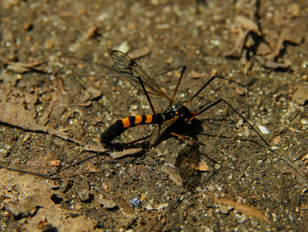 exitus: The species of mosquito mosquitoes with long legs and a color of wasps