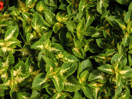 perennial: Decorative perennial plant Coleus on sunshine day Stock Photo